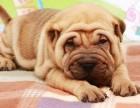 忠心 聪颖 矫健帅气温和的沙皮幼犬