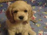 上门优惠 家养纯种可卡幼犬出售毛色好包健康公母都有