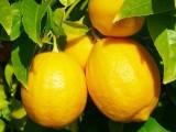 尤力克良种柠檬苗,优质柠檬苗,柠檬苗木批发价格