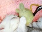 纯种异国短毛猫幼猫活体宠物