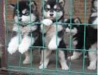 狗场繁育巨型熊版各色-阿拉斯加幼犬出售-上门可优惠