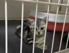 猫叔猫舍专业繁殖纯种宠物美短价格便宜