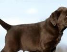 株洲哪里有卖拉布拉多 超聪明进口种犬繁殖 忠主犬拉布拉多