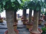 光明新区公明松岗沙井周边金钱树发财树绿萝花卉销售
