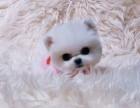 超萌可爱系列,北京博美犬舍,博美犬,俊介犬,多窝可选
