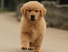纯血统金毛幼犬 专业繁殖 可签协议保障 健康可爱
