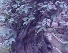 十余盆栽植十年以上金弹子盆景甩卖