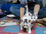 出售已满月的小猫咪 白色150其他价格再议。