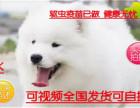 精品推荐微笑天使萨摩耶幼犬雪白无水锈骨骼粗毛量足