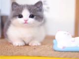佛山本地猫舍 英短蓝猫蓝白渐层布偶橘猫加菲猫 上门买包3个月
