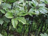 四川虫楼价格 七叶一枝花 新品种