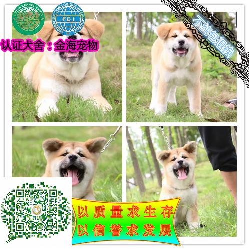 高品质日系 秋田犬幼崽出售 保纯保健康 可签协
