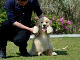 成都哪里可以买到好一点的金毛幼犬 四川成都的金毛多少钱一只