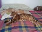 1岁半绝育母豹猫免费领养