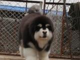 广州买狗 出售巨型熊版阿拉斯加,终身质保,签协议