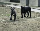 出售纯种卡斯罗犬引进意大利血缘,健康质保,可上门挑