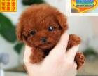 哪里有泰迪犬出售 泰迪犬多少钱一只 在哪里