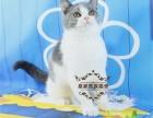 英短蓝白纯种宠物猫活体幼猫 英国短毛猫折耳银渐层家养幼崽