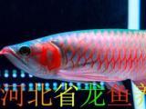 河北省龙鱼养殖 回收各种龙鱼,魟鱼,置换