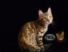 TICA注册家庭猫舍 纯种孟加拉豹猫
