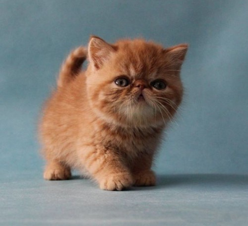 超可爱加菲宝宝找新家 佛山猫舍出售纯种加菲猫,粘人又聪明