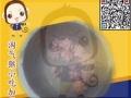 韩国小吃制作培训 淘气猴旋风薯塔免费教学 先尝后学