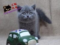 出售蓝猫 渐层 美短虎斑 起司 短毛折耳猫 本地上门外地发货