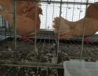 黄凤尾的价格观赏鸽黄凤尾多少钱孔雀鸽