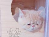 猫舍出售纯血统加菲猫 无病无癣保健康可上门挑选