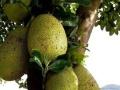 招募进口菠萝蜜电白、信宜、高州批发、零售商