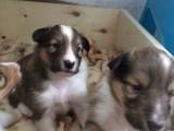 喜乐蒂幼犬低价出售 公母都有 身体非常健康 可见父母