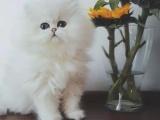 仙女猫金吉拉 幼猫出售 纯种猫咪无病无癣