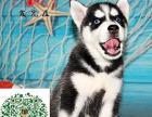 宁波本地出售精品哈士奇 小哈幼犬雪橇犬 保健康