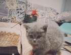 英国短毛猫 可爱蓝猫