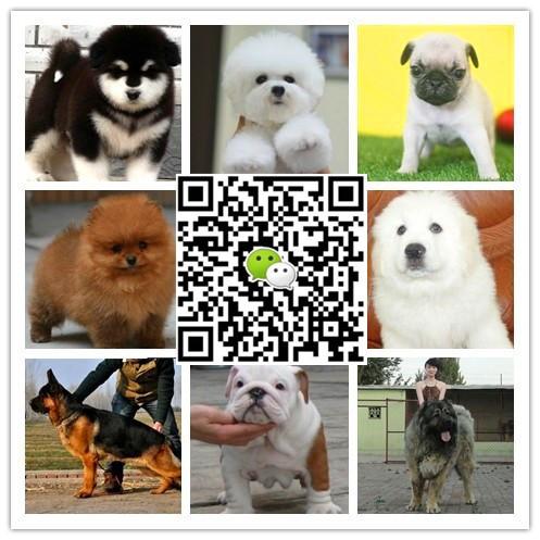 中国最大宠物狗买卖 全国多家分狗场 支持上门自提看狗选狗价格