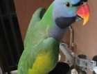 出售手养的大绯胸鹦鹉 小绯胸鹦鹉幼鸟 可爱亲人