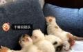 多只CFA小加菲猫接收预定