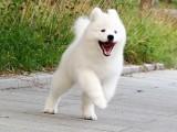 拉萨纯种萨摩耶多少钱 在拉萨什么地方能买到纯种萨摩耶犬