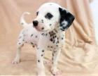 斑点狗 常年销售 包细小犬瘟冠状 包防疫包纯种