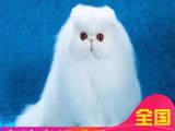 哪里有加菲買雙證純種加菲貓水滴眼鼻一線疫苗齊全