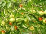 供应枣树苗 枣树苗基地 3公分枣树苗价格