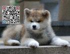 哪里出售秋田犬 纯种秋田犬多少钱