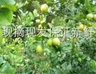 柠檬批发 无籽香水柠檬 香水柠檬 奶茶店专用柠檬