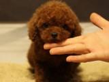佛山哪里有卖泰迪熊 实体狗场纯种泰迪犬包健康疫苗做齐优惠出售