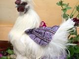 雞西大量供應各類觀賞雞 送貨上門