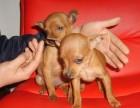 上海哪里有小鹿犬卖 上海小鹿犬价格 上海小鹿犬多少钱