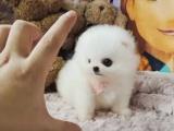 可爱博美幼犬 球形包健康 看得见的品质