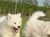 出售赛级微笑天使萨摩耶幼犬,公母均有品质健康可保证