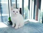 美国CFA认证猫舍 英短 渐层 优惠送一直