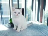 美国CFA认证猫舍 英短 渐层 优惠送不停